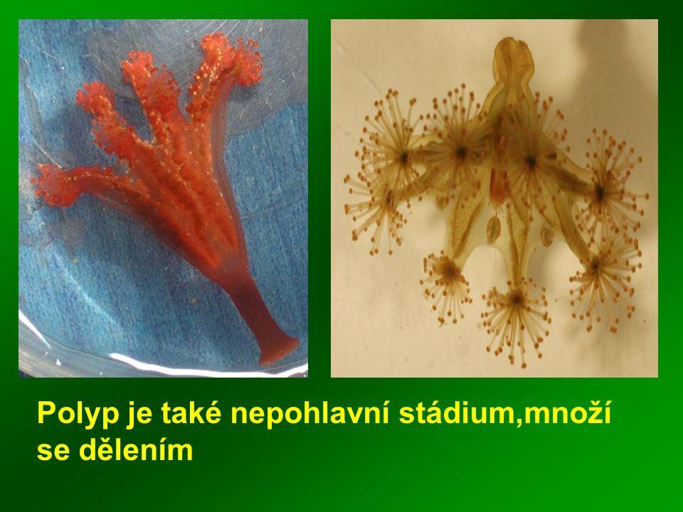5.Co je to medúza + příklad.