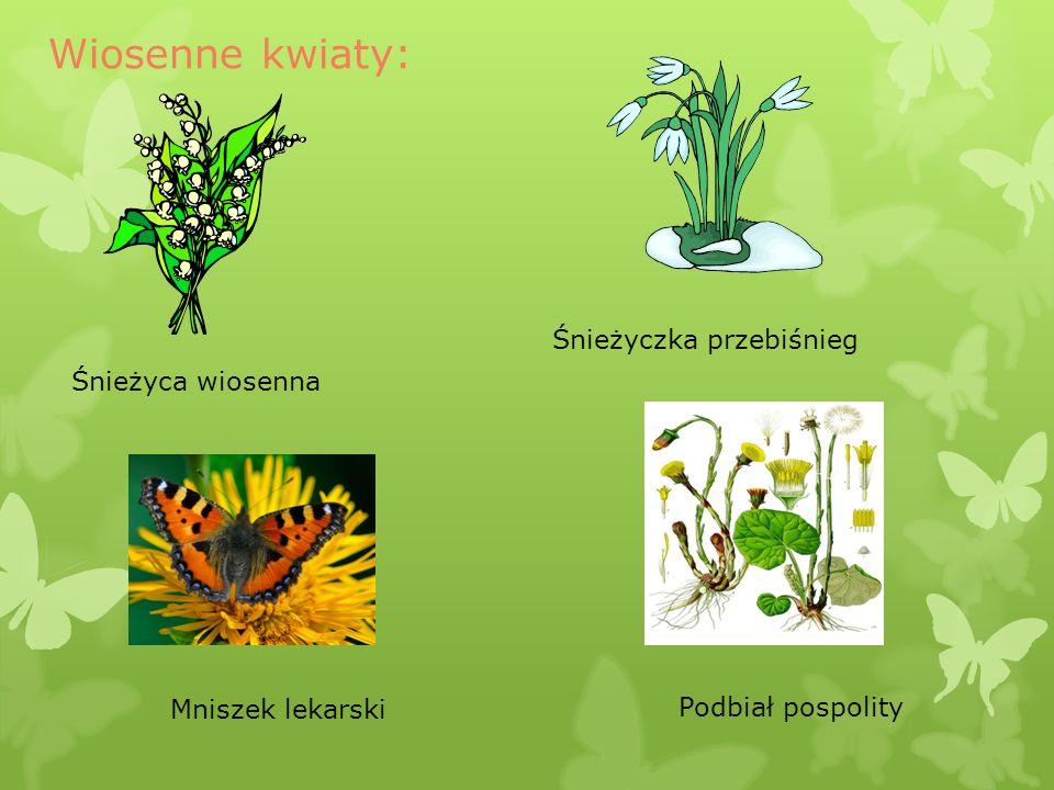 Śnieżyczka przebiśnieg Śnieżyca wiosenna Mniszek lekarski Podbiał pospolity Wiosenne kwiaty: