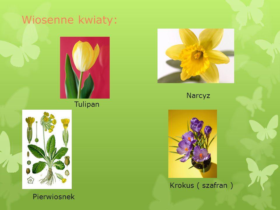 Tulipan Narcyz Krokus ( szafran ) Pierwiosnek
