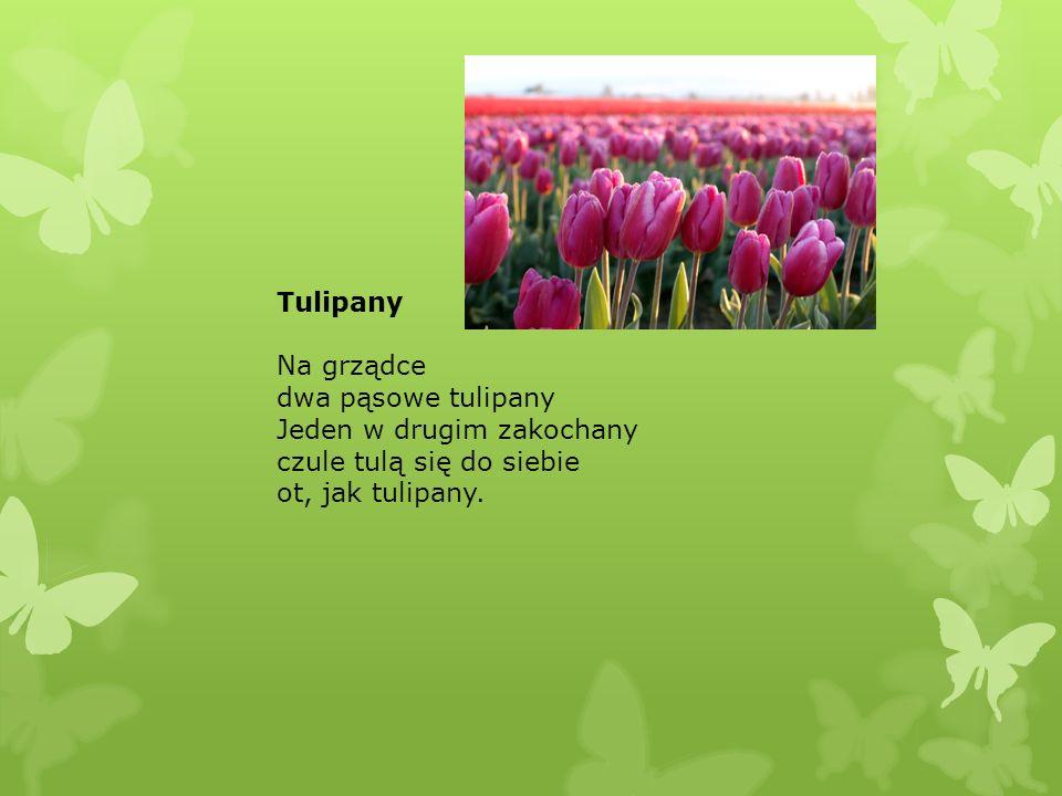 Tulipany Na grządce dwa pąsowe tulipany Jeden w drugim zakochany czule tulą się do siebie ot, jak tulipany.