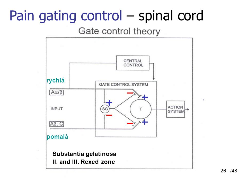 /4826 Pain gating control – spinal cord Substantia gelatinosa II. and III. Rexed zone rychlá pomalá