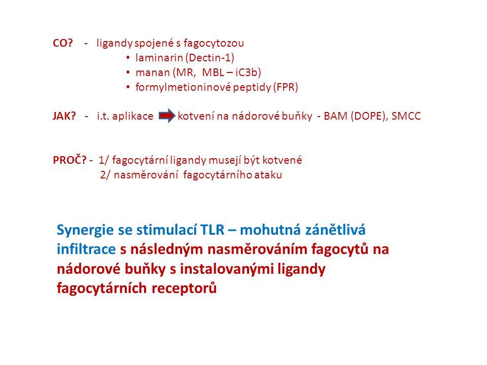 Neutrophily + B16-F10 melanomové buňky