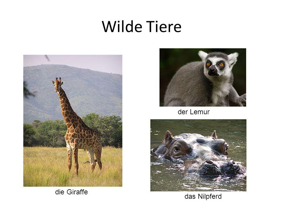 Wilde Tiere die Giraffe der Lemur das Nilpferd