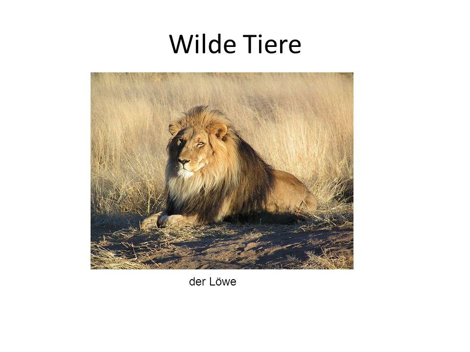 Wilde Tiere der Löwe