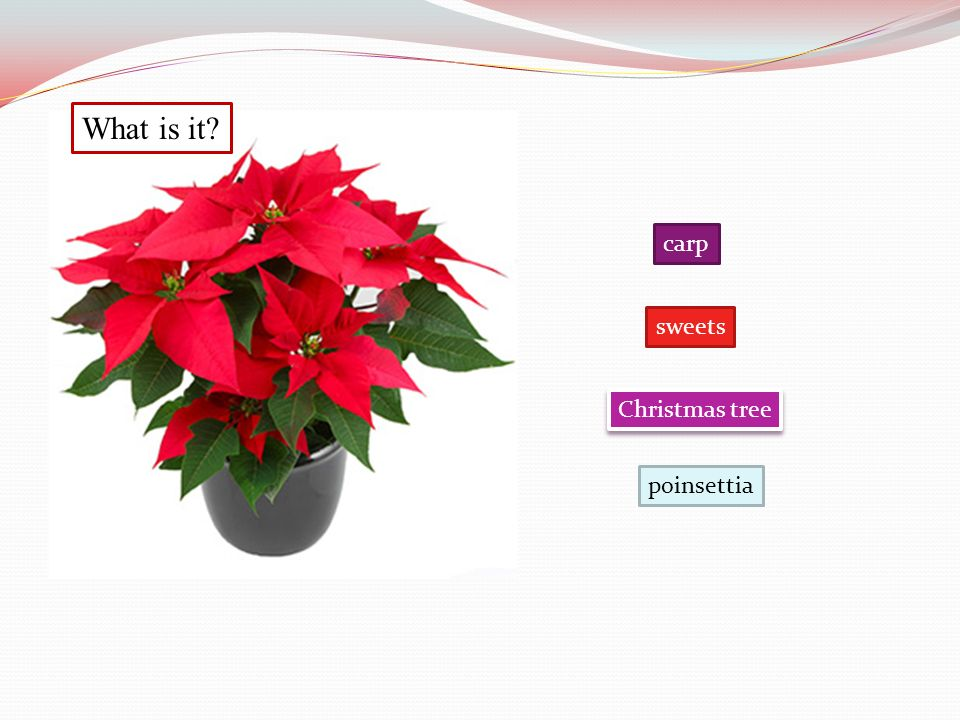 What is it? carp Christmas tree sweets poinsettia