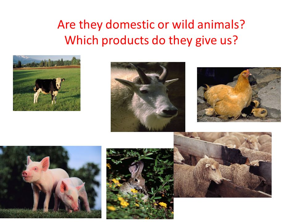 Are they domestic or wild animals Which products do they give us