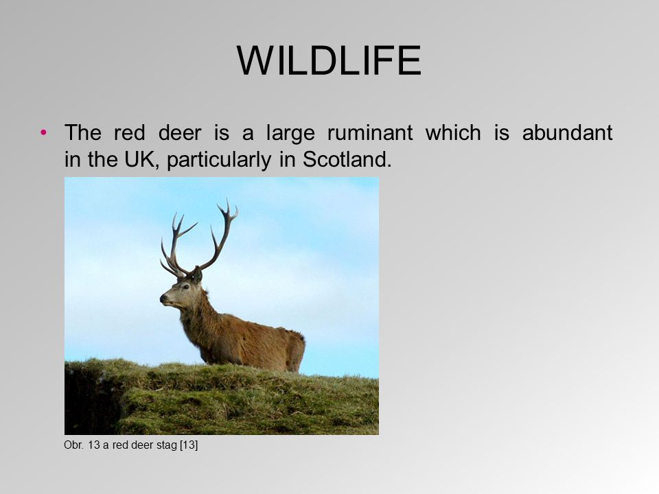 WILDLIFE The red deer is a large ruminant which is abundant in the UK, particularly in Scotland. Obr. 13 a red deer stag [13]