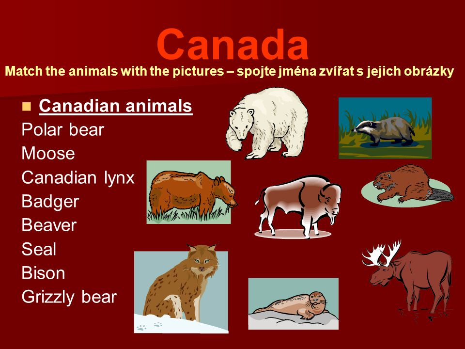 Canada Canadian animals Polar bear Moose Canadian lynx Badger Beaver Seal Bison Grizzly bear Match the animals with the pictures – spojte jména zvířat s jejich obrázky