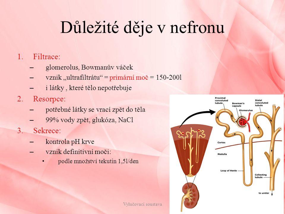 """Důležité děje v nefronu 1.Filtrace: – glomerolus, Bowmanův váček – vznik """"ultrafiltrátu"""" = primární moč = 150-200l – i látky, které tělo nepotřebuje 2"""