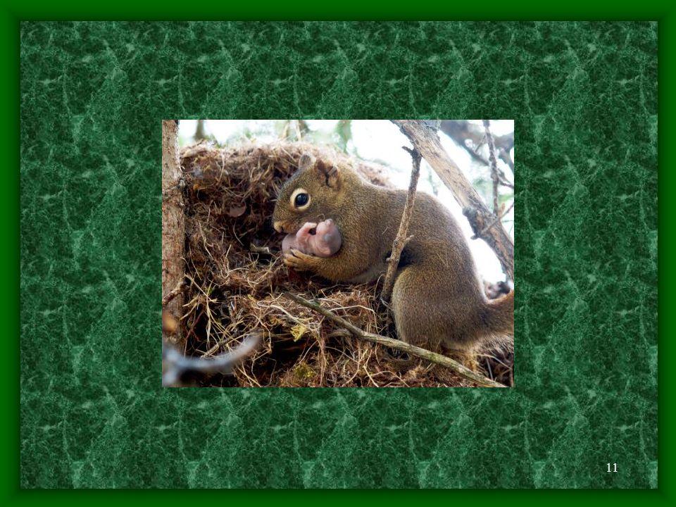 10 - mláďata se rodí slepá a téměř holá a po narození váží 10 až 15 g - v prvním týdnu po narození mláďat se samička zdržuje neustále poblíž hnízda a pravidelně přichází mláďata nakojit - plně osrstněna jsou po 21 dnech života, oči se jim otevřou po 2-4 týdnech a chrup se jim plně vyvíjí až po 42 dnech, kdy začínají požírat pevnou potravu; samice je však kojí až do jejich odstavení, tedy do 8 až 10 týdnů po narození - jakmile zhruba po měsíci vystrčí mláďata své čumáčky, a nejen ty, z hnízda a začnou dovádět na větvích, je to opravdu krásná podívaná; začínají přijímat pevnou stravu, matka je přesto kojí ještě další tři týdny - mláďata se rodí po 36 až 42 denní březostí - nejvíce 75 - 85 % mláďat umírá během svého prvního zimního období