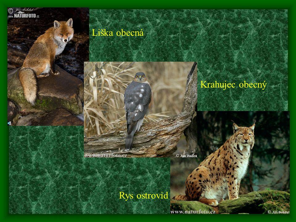 16 - mezi nejvýznamnější predátory veverky obecné patří kuna lesní a kuna skalní, ze savčích predátorů je to dále liška obecná, rys ostrovid, vlk a vzácně i zdivočelá kočka domácí; je také součástí potravy některých dravců – především jestřába lesního a krahujce obecného a sov - výra velkého a puštíka obecného Jestřáb lesní Kočka domácí Vlk