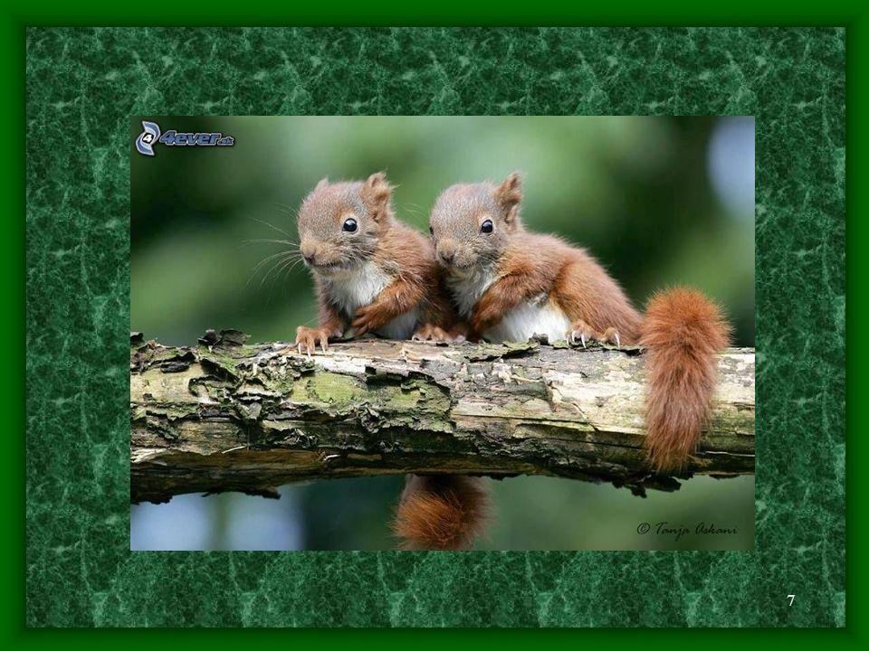 6 - díky své velmi dobré rozmnožovací schopnosti se veverkám podařilo přežít i období, kdy byly loveny pro svoji kožešinu a jemné maso - u pohlaví není vyvinut sexuální dimorfismus - samice dosahuje pohlavní dospělosti zhruba ve 2 letech života, samci o něco později - veverčí páreček dokáže 3x ročně přivést na svět 3 - 6 mláďat - u některých jedinců probíhá páření již na konci zimy a na samotném počátku jara, tedy během února a března, většinou je však obvyklejší doba páření v letním období, během června a července - samec svou partnerku nachází díky pronikavému pachu, který samice vypuzuje, po setkání dvou partnerů začne samec svou partnerku honit po stromech a tak činí až do hodiny před spářením; hned poté se samička pustí do budování pohodlného hnízda - před rozmnožováním se samice vykrmují s cílem přibrat na váze, jelikož obecně platí, že samice s vyšší hmotností rodí více mláďat než samice s hmotností nižší