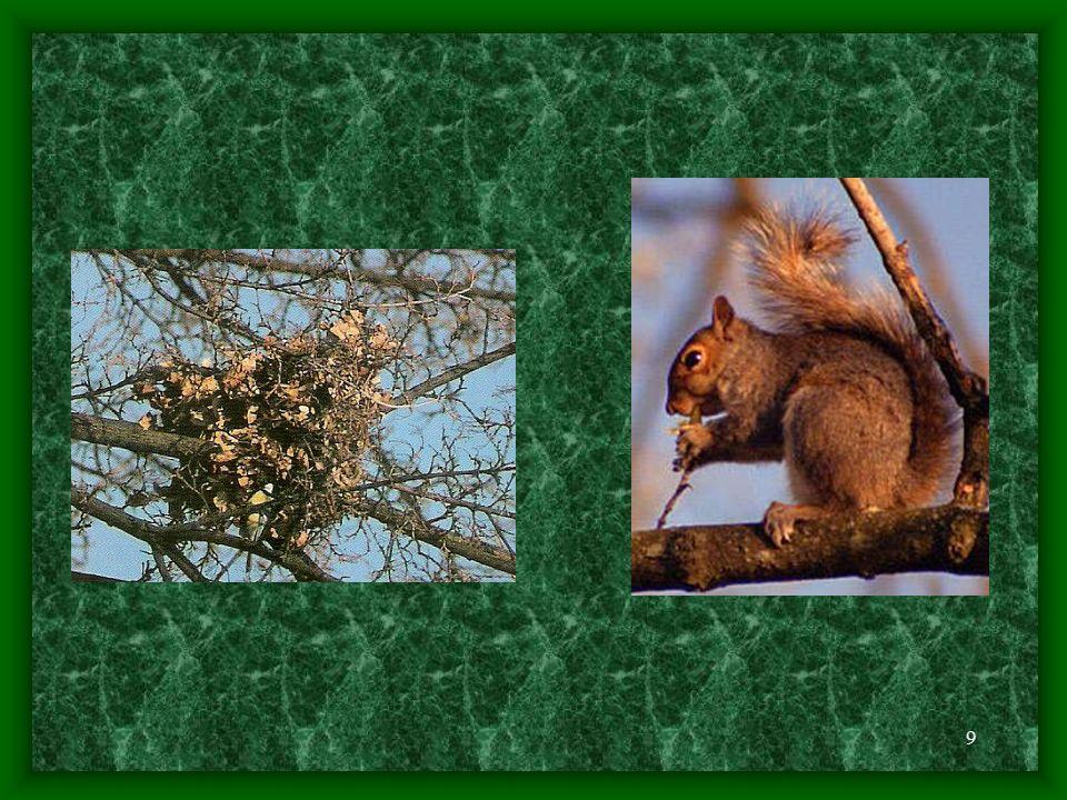 8 - ve svém revíru, který může mít až 50 hektarů má několik hnízd vysoko ve větvích, která střídavě využívá - v korunách stromů blízko kmene si stavějí kulovitá hnízda v průměru 25 - 30 cm - ke stavbě využívá suché větvičky, trávu, lýko a zvířecí srtst, případně využíjí dutin stromů - nepohrdne ani dutinou stromu, či ptačí budkou s dostatečně velikým otvorem - zimní hnízdo je větší, kulovité a vystlané trávou, mechem nebo listím - při mrazivém počasí si udržuje uvnitř teplotu kolem 10°C - jeho vnitřek je vystlán listy, mechem a lýkem a dělí se většinou na dvě komůrky