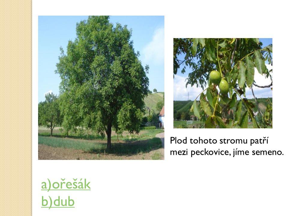 Plod tohoto stromu patří mezi peckovice, jíme semeno. a)ořešák b)dub