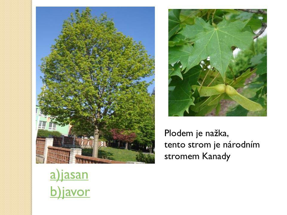 Plodem je nažka, tento strom je národním stromem Kanady a)jasan b)javor