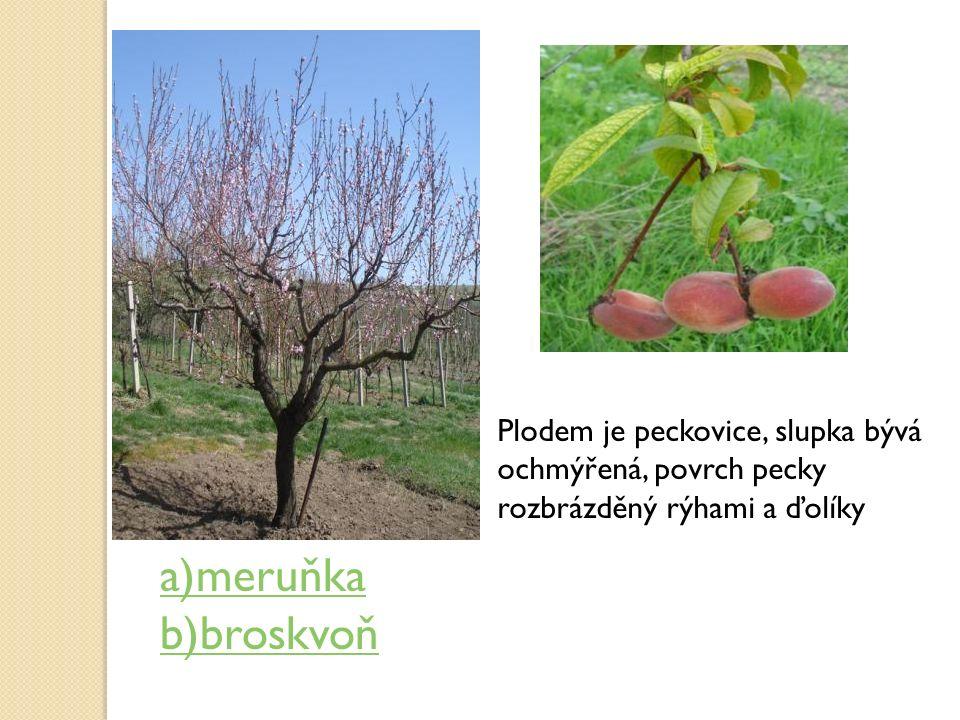 Plodem je peckovice, slupka bývá ochmýřená, povrch pecky rozbrázděný rýhami a ďolíky a)meruňka b)broskvoň