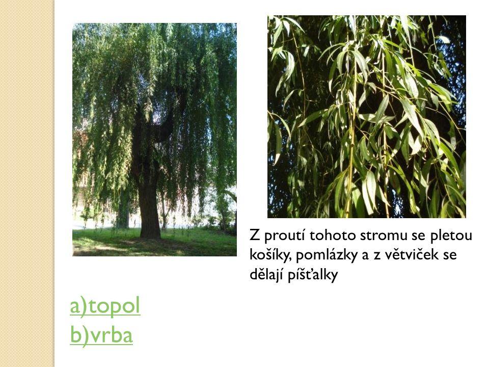 Z proutí tohoto stromu se pletou košíky, pomlázky a z větviček se dělají píšťalky a)topol b)vrba