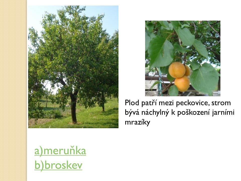 Plod patří mezi peckovice, strom bývá náchylný k poškození jarními mrazíky a)meruňka b)broskev