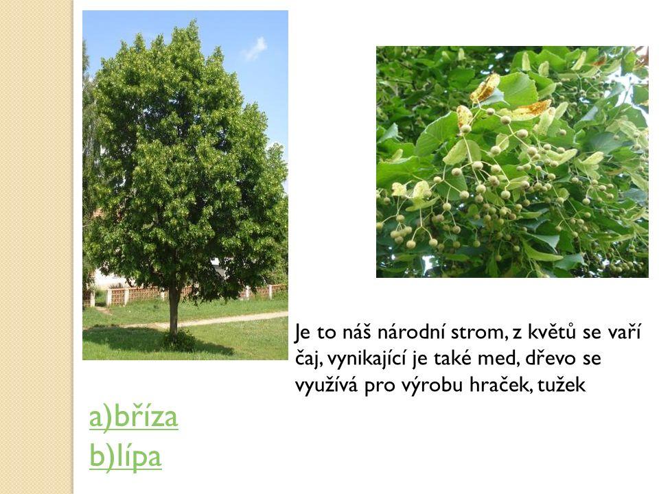 Je to náš národní strom, z květů se vaří čaj, vynikající je také med, dřevo se využívá pro výrobu hraček, tužek a)bříza b)lípa