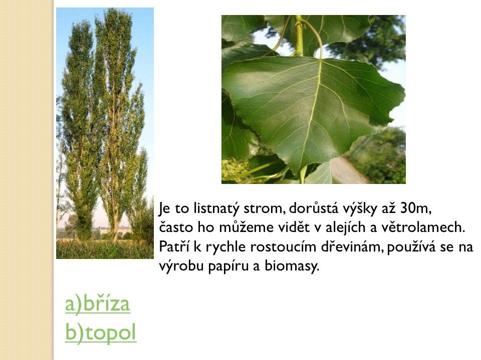 Je to listnatý strom, dorůstá výšky až 30m, často ho můžeme vidět v alejích a větrolamech. Patří k rychle rostoucím dřevinám, používá se na výrobu pap