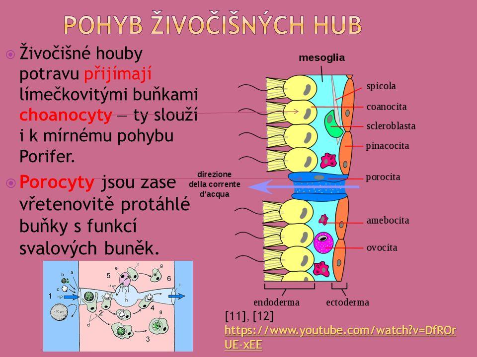  Živočišné houby potravu přijímají límečkovitými buňkami choanocyty — ty slouží i k mírnému pohybu Porifer.