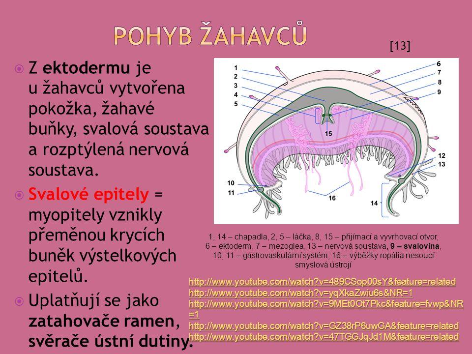  Z ektodermu je u žahavců vytvořena pokožka, žahavé buňky, svalová soustava a rozptýlená nervová soustava.  Svalové epitely = myopitely vznikly přem