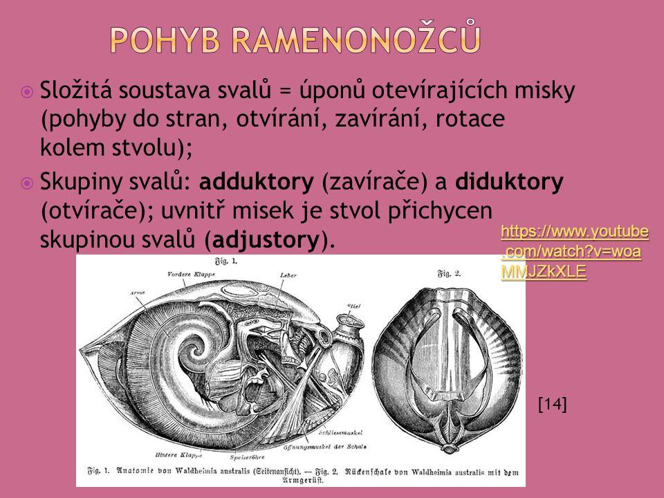 Složitá soustava svalů = úponů otevírajících misky (pohyby do stran, otvírání, zavírání, rotace kolem stvolu);  Skupiny svalů: adduktory (zavírače)