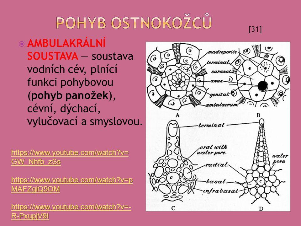  AMBULAKRÁLNÍ SOUSTAVA — soustava vodních cév, plnící funkci pohybovou (pohyb panožek), cévní, dýchací, vylučovací a smyslovou. [31] https://www.yout