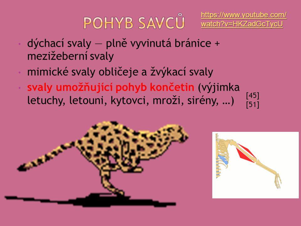 dýchací svaly — plně vyvinutá bránice + mezižeberní svaly mimické svaly obličeje a žvýkací svaly svaly umožňující pohyb končetin (výjimka letuchy, letouni, kytovci, mroži, sirény, …) [45] [51] https://www.youtube.com/ watch v=HKZadGcTycU https://www.youtube.com/ watch v=HKZadGcTycU