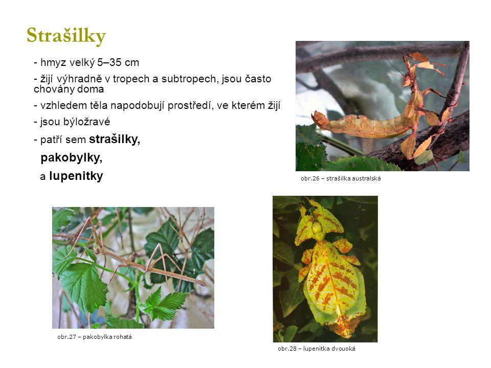 Strašilky - hmyz velký 5–35 cm - žijí výhradně v tropech a subtropech, jsou často chovány doma - vzhledem těla napodobují prostředí, ve kterém žijí - jsou býložravé - patří sem strašilky, pakobylky, a lupenitky obr.26 – strašilka australská obr.28 – lupenitka dvouoká obr.27 – pakobylka rohatá