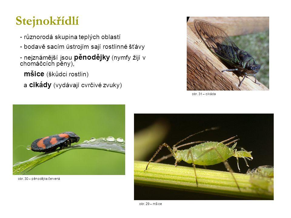 Stejnokřídlí - různorodá skupina teplých oblastí - bodavě sacím ústrojím sají rostlinné šťávy - nejznámější jsou pěnodějky (nymfy žijí v chomáčcích pěny), mšice (škůdci rostlin) a cikády (vydávají cvrčivé zvuky) obr.