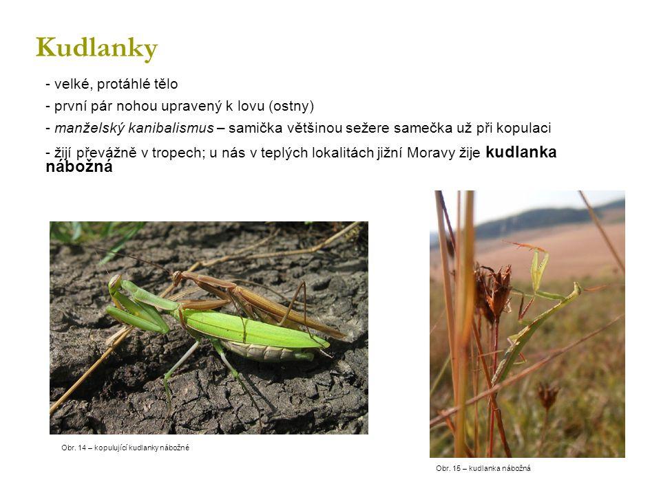 Kudlanky - velké, protáhlé tělo - první pár nohou upravený k lovu (ostny) - manželský kanibalismus – samička většinou sežere samečka už při kopulaci - žijí převážně v tropech; u nás v teplých lokalitách jižní Moravy žije kudlanka nábožná Obr.