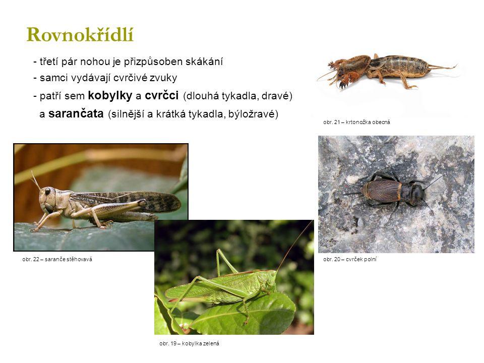 Rovnokřídlí - třetí pár nohou je přizpůsoben skákání - samci vydávají cvrčivé zvuky - patří sem kobylky a cvrčci (dlouhá tykadla, dravé) a sarančata (silnější a krátká tykadla, býložravé) obr.