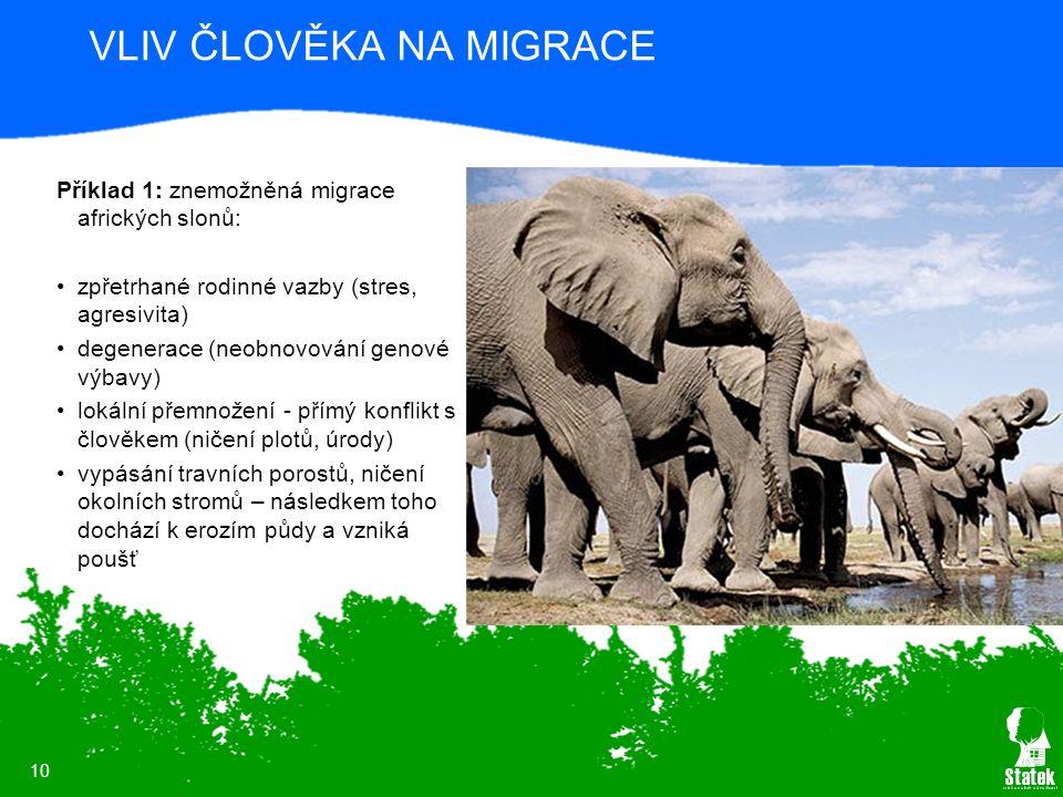 10 VLIV ČLOVĚKA NA MIGRACE Příklad 1: znemožněná migrace afrických slonů: zpřetrhané rodinné vazby (stres, agresivita) degenerace (neobnovování genové