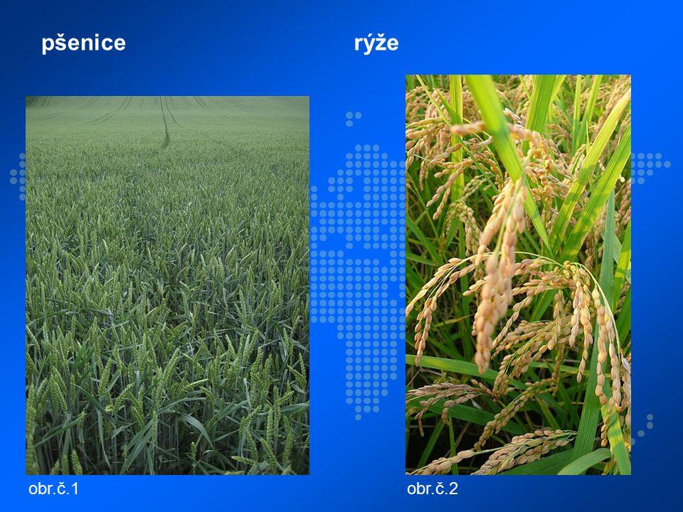 pšenicerýže obr.č.1obr.č.2