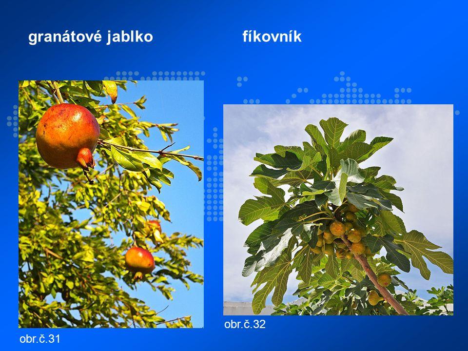 granátové jablkofíkovník obr.č.31 obr.č.32