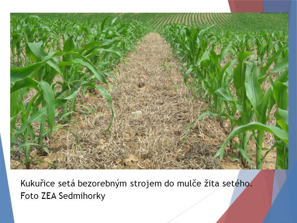 Kukuřice setá bezorebným strojem do mulče žita setého. Foto ZEA Sedmihorky