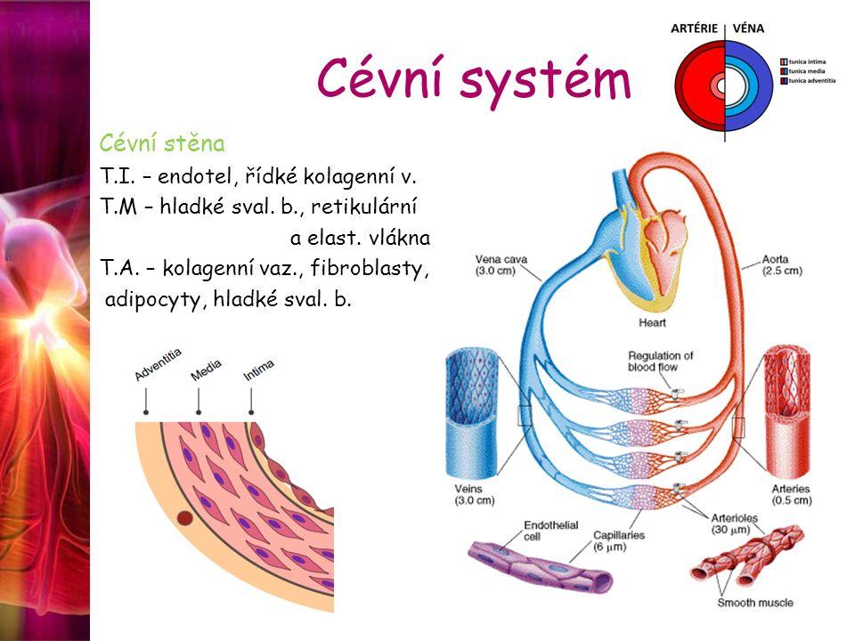 Cévní systém Cévní stěna T.I. – endotel, řídké kolagenní v. T.M – hladké sval. b., retikulární a elast. vlákna T.A. – kolagenní vaz., fibroblasty, adi