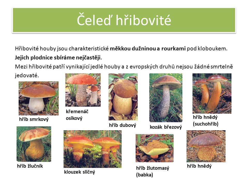Čeleď hřibovité Hřibovité houby jsou charakteristické měkkou dužninou a rourkami pod kloboukem. Jejich plodnice sbíráme nejčastěji. Mezi hřibovité pat