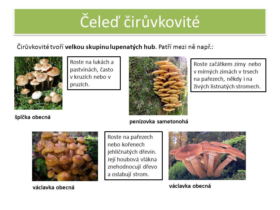 Čeleď čirůvkovité Čirůvkovité tvoří velkou skupinu lupenatých hub.