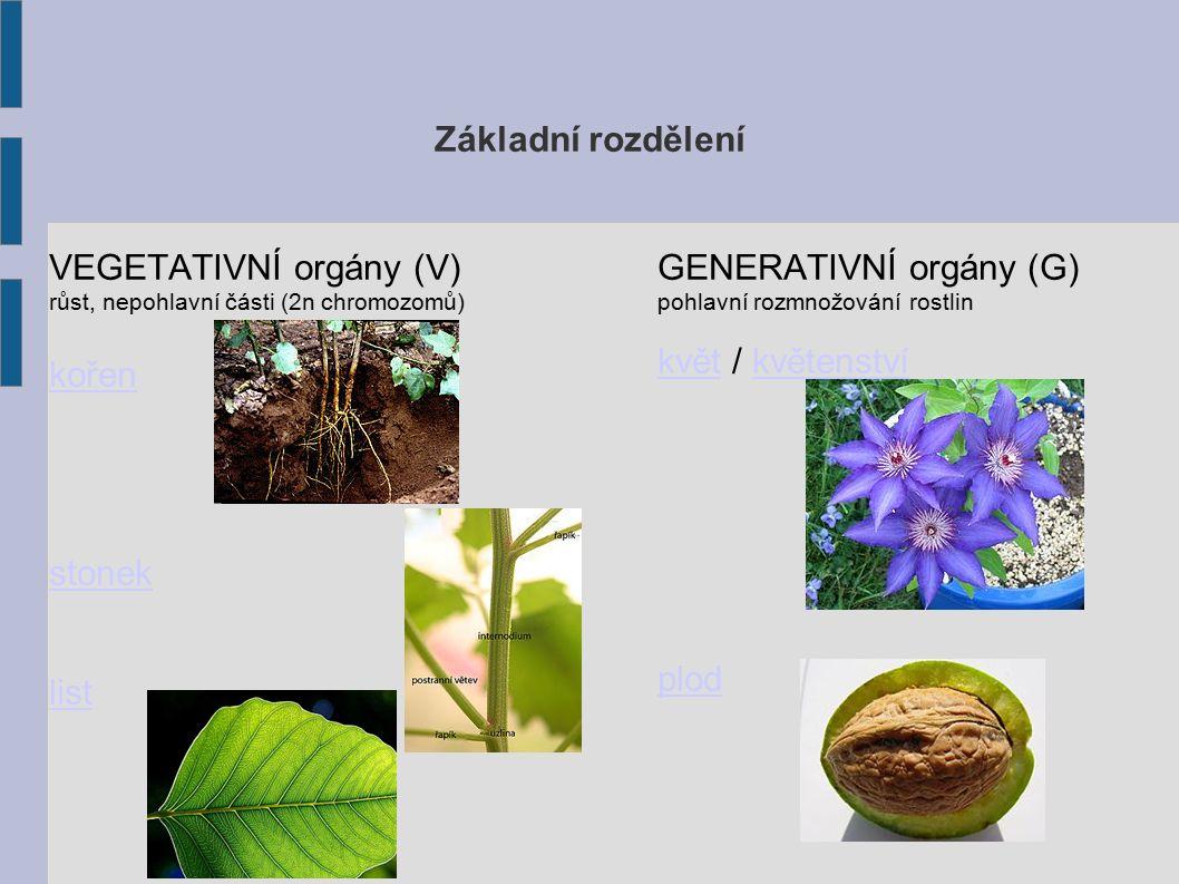 KOŘEN základní funkce upevnění rostliny v půdě příjem vody s minerálními živinami přeměny kořenu zásobní kořenzásobní kořen – petržel, mrkev bulvabulva - i část stonku (řepa) kořenové hlízykořenové hlízy – zásobní (jiřina) haustoriahaustoria – poloparazité (jmelí) vzdušné kořeny stavba zpět - Základní rozdělení zdro j