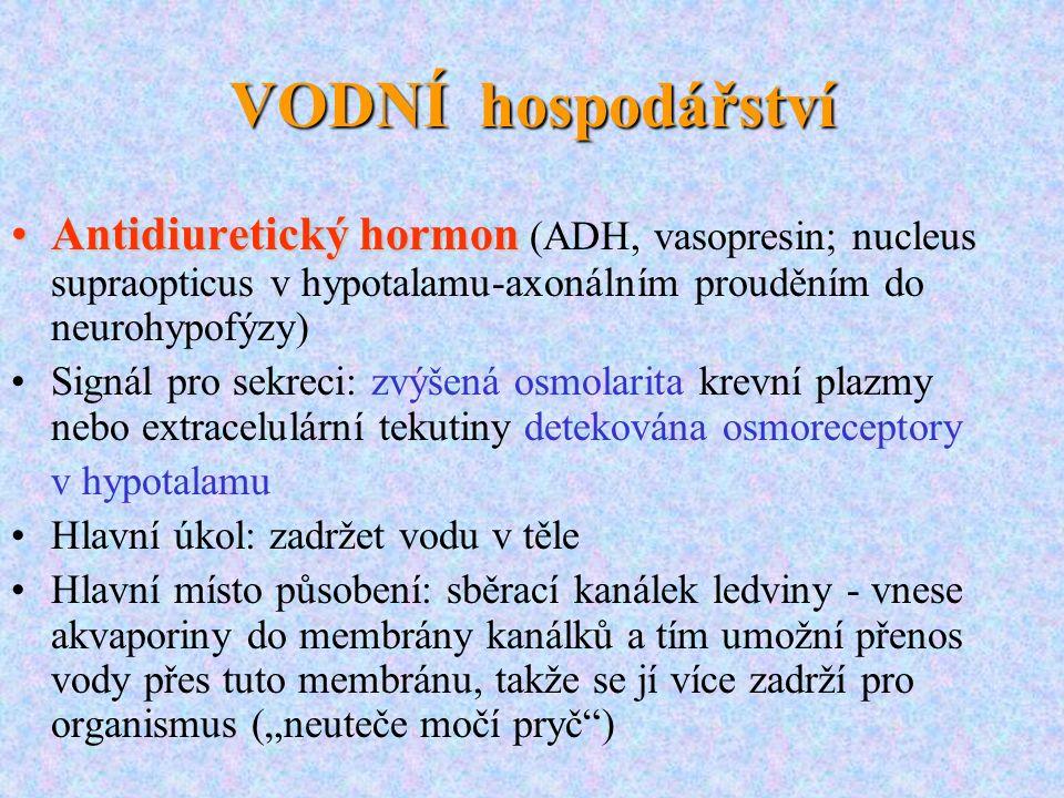 VODNÍ hospodářství Antidiuretický hormonAntidiuretický hormon (ADH, vasopresin; nucleus supraopticus v hypotalamu-axonálním prouděním do neurohypofýzy
