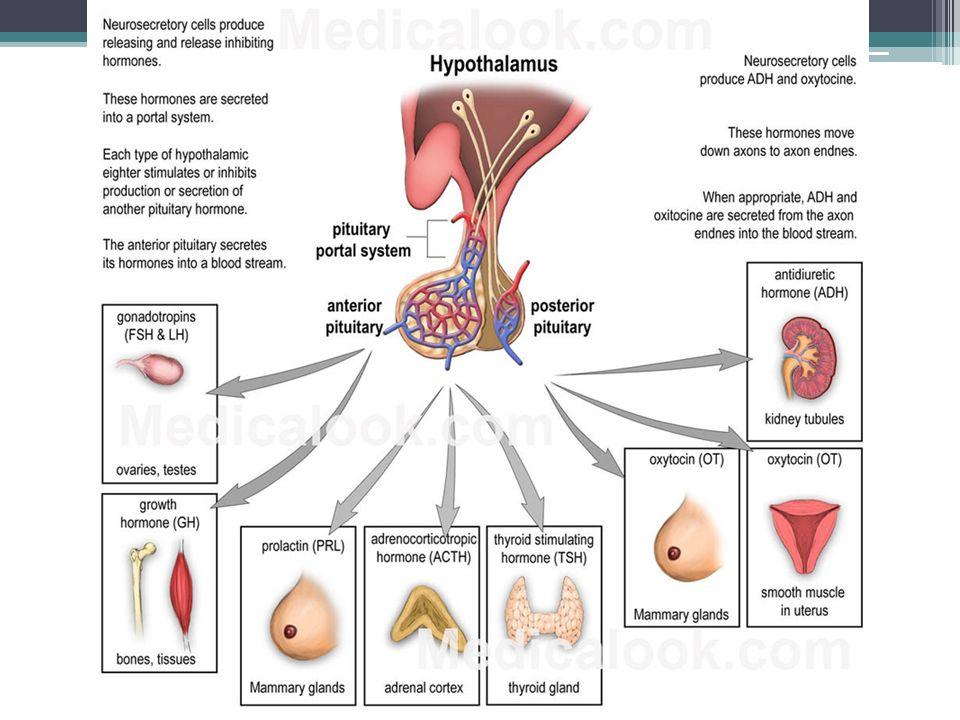 Štítná žláza (glandula thyroidea) produkce T4 (tyroxin, je účinnější) a T3 (trijodtyronin), řízena nabídkou jódu a řídícími hormony z hypotalamu a hypofýzy jód je ve štítné žláze aktivně vychytáván jodidovou pumpou, hormony skladovány vazbou na tyreoglobulin funkce: ▫zvyšují bazální metabolismus, tím i spotřebu O 2 a tvorbu zbytkového tepla ▫stimulují proteosyntézu a růst ▫stimulují metabolismus sacharidů i tuků (zdroje energie pro zvýšený metabolismus) ▫zvyšují SF a minutový objem srdeční (zajištění přísunu O 2 k pokrytí zvýšených metabolických potřeb ▫ovlivňují vývoj nervového systému