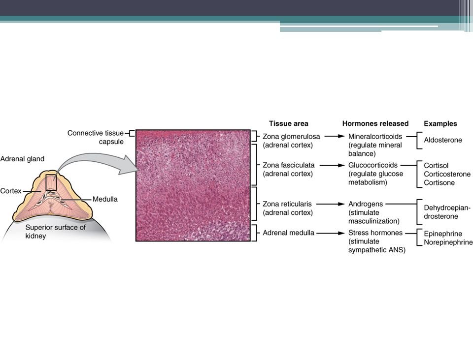Aldosteron pro život zcela nezbytný, při jeho nepřítomnosti nastává smrt během několika dní (selhání srdce pro nedostatečný objem cirkulující krve, šok – příčinou je nedostatek Na a nadbytek K v krvi); funkce: ▫zadržuje v těle sodík a s ním i vodu ▫zvyšuje vylučování draslíku do moči zvyšuje krevní tlak zvýšením objemu krevní plazmy sekrece řízena koncentrací Na a K, dále viz RAA systém