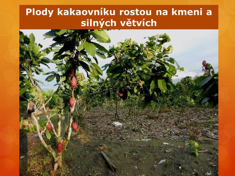 Plody kakaovníku rostou na kmeni a silných větvích