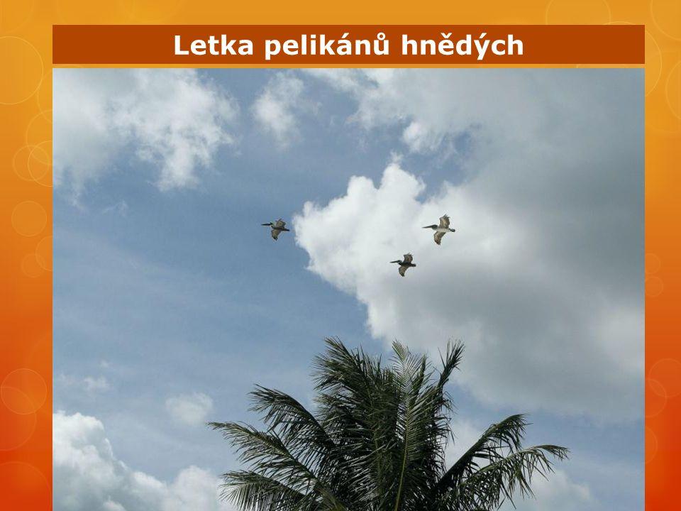 Letka pelikánů hnědých