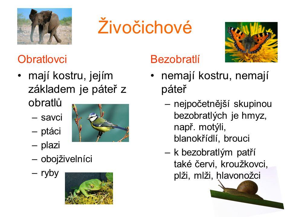 Živočichové Obratlovci mají kostru, jejím základem je páteř z obratlů –savci –ptáci –plazi –obojživelníci –ryby Bezobratlí nemají kostru, nemají páteř –nejpočetnější skupinou bezobratlých je hmyz, např.