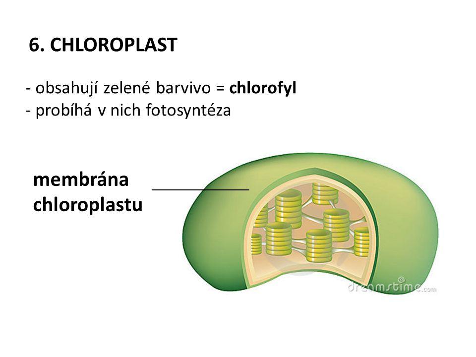6. CHLOROPLAST - obsahují zelené barvivo = chlorofyl - probíhá v nich fotosyntéza membrána chloroplastu