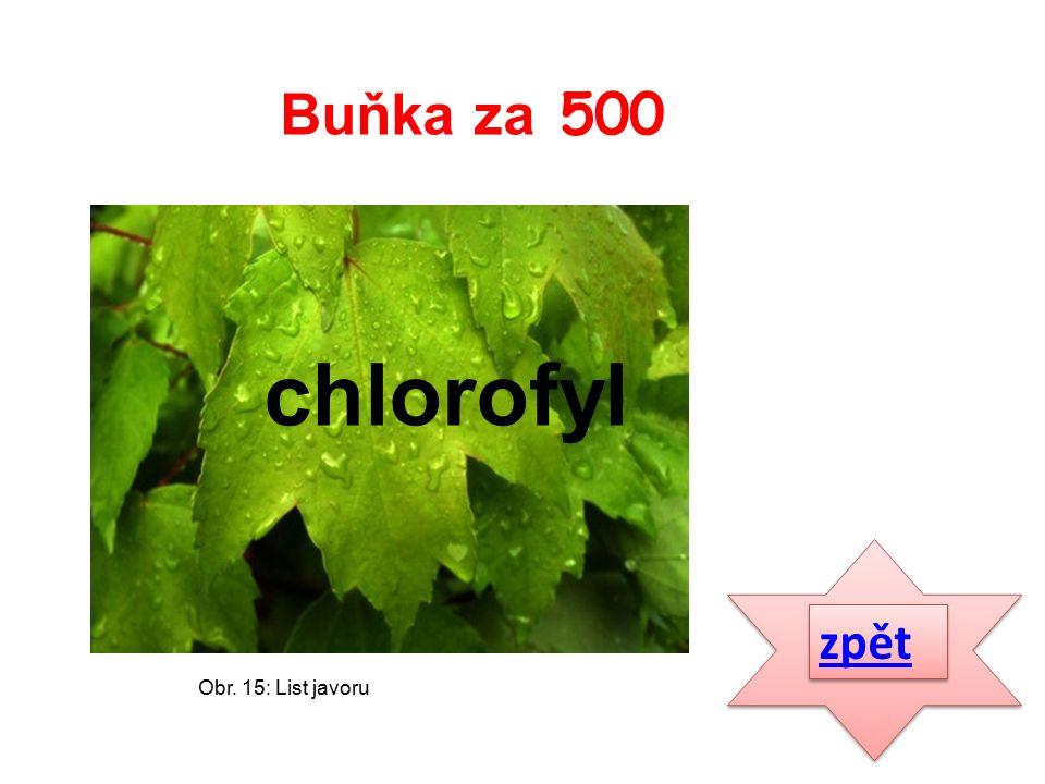 zpět chlorofyl Buňka za 500 Obr. 15: List javoru