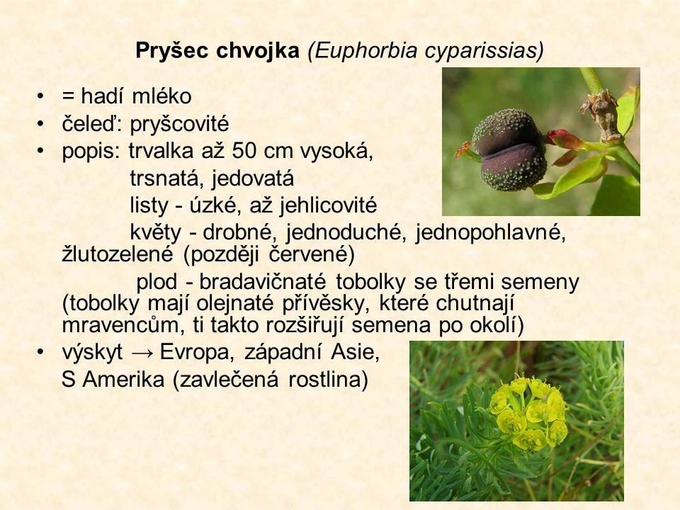 Pryšec chvojka (Euphorbia cyparissias) = hadí mléko čeleď: pryšcovité popis: trvalka až 50 cm vysoká, trsnatá, jedovatá listy - úzké, až jehlicovité květy - drobné, jednoduché, jednopohlavné, žlutozelené (později červené) plod - bradavičnaté tobolky se třemi semeny (tobolky mají olejnaté přívěsky, které chutnají mravencům, ti takto rozšiřují semena po okolí) výskyt → Evropa, západní Asie, S Amerika (zavlečená rostlina)